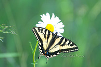 Swallow Tail on Daisy
