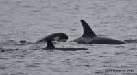 Orca Family - Kenai Fjords National Park